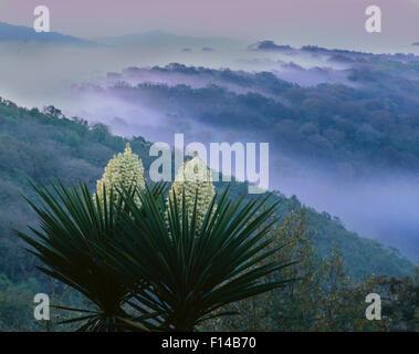 Flowering Yucca (Yucca carnerosana) in foggy habitat,  Tamaulipas, Sierra Tamaulipas, Mexico, February 2004. - Stock Photo
