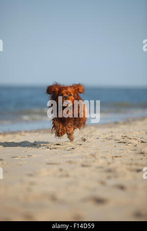 Cavalier King Charles Spaniel, ruby male age 6 running on beach, Texel, Netherlands. - Stock Photo