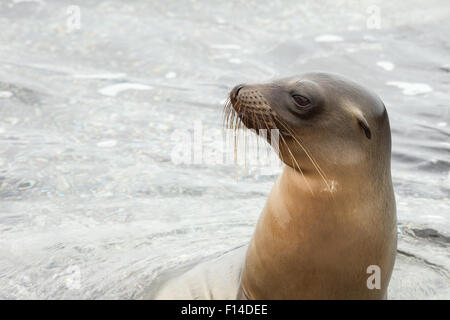 Sea lion reaching its head above the water surface. - Stock Photo