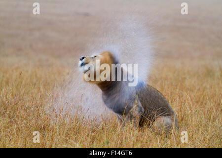 African lion (Panthera leo) male shaking water off mane after rain, Masai-Mara Game Reserve, Kenya. September. - Stock Photo