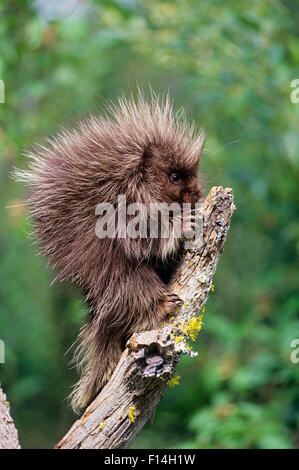 PORCUPINE IN A TREE Erethizon dorsatum - Stock Photo