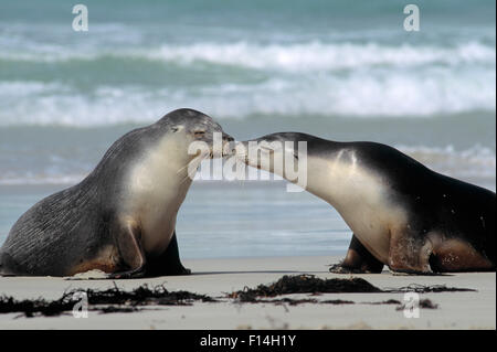 AUSTRALIAN SEA LION Neophoca cinerea - Stock Photo