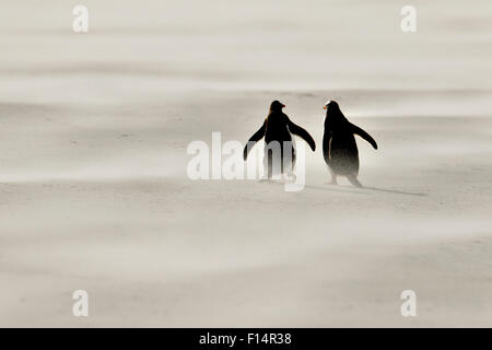 Gentoo penguin (Pygoscelis papua) in sandstorm on beach, Saunders Island, Falkland Islands. - Stock Photo