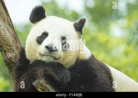 Portrait of a Giant panda bear during the rain in a forest after eating bamboo - Stock Photo