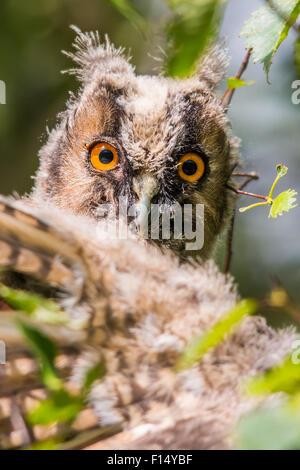 Juvenile long-eared owl (Asio otus) Stock Photo
