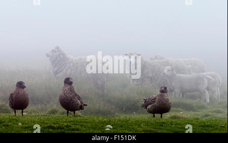 Great skua (Catharacta skua) and sheep with lambs, Shetland Islands, Scotland, UK, July. - Stock Photo