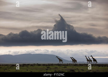 Masai giraffe (Giraffa camelopardalis tippelskirchi) herd walking, Masai-Mara Game Reserve, Kenya. October. - Stock Photo