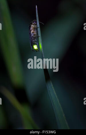 Firefly (Lampyrinae) male glowing on grass stem at night. Nordtirol, Austrian Alps, July. - Stock Photo