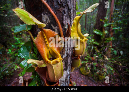 Large aerial pitchers of Veitch's pitcher plant (Nepenthes veitchii) growing up a tree trunk. Maliau Basin, Borneo. - Stock Photo