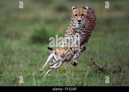 Cheetah (Acinonyx jubatus) cub aged around  one year about to bring down a Thomson's gazelle fawn (Eudorcas thomsonii - Stock Photo