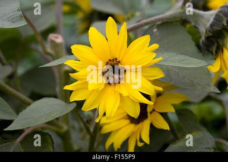 Honeybee on Helianthus 'Choco Sun' flower. - Stock Photo