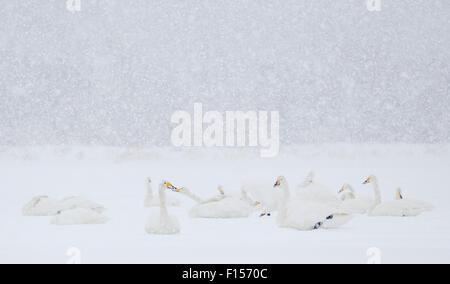 Whooper Swan (Cygnus cygnus) flock in heavy snowfall, Hokkaido, Japan, February - Stock Photo