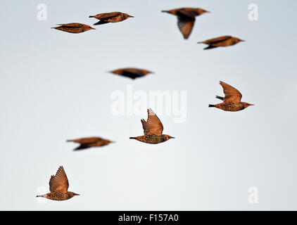Common Starling (Sturnus vulgaris) flock in flight, Falsterbo, Sweden, October - Stock Photo