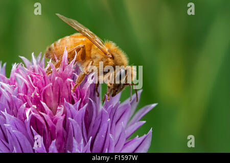 Italian Cordovan bee (Apis mellifera ligustica), subspecies of the western honey bees collecting nectar from flowering - Stock Photo