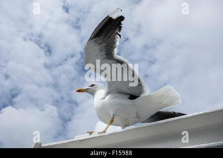 European herring gull (Larus argentatus), yellow-legged variety - Stock Photo