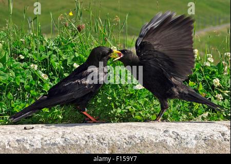 Alpine chough / yellow-billed chough (Pyrrhocorax graculus) feeding juvenile in the Alps - Stock Photo
