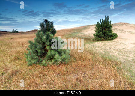 two pine trees on dune in summer morning - Stock Photo