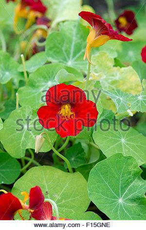 Tropaeolum majus. Nasturtium 'Jewel of africa' flower - Stock Photo
