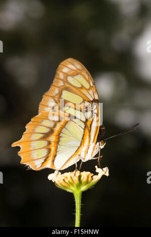 Underwings of the tropical Malachite butterfly, Siproeta stelenes, at a butterfly farm - Stock Photo