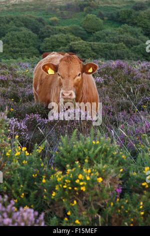 Devon red calf free range on the Quantock Hills, Somerset. - Stock Photo