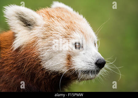 3/4 Portrait of a Red Panda Against a Green Background - Stock Photo