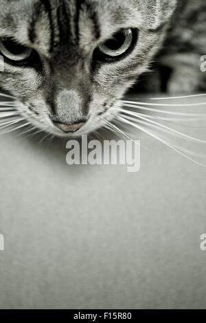 Close up portrait of Spotted Savannah Cat looking down over the edge of surface - Stock Photo