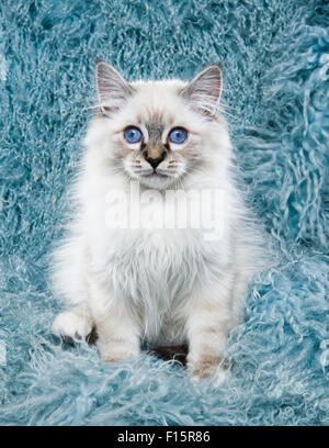 portrait of fluffy white Ragdoll kitten with piercing blue eyes on turquoise long hair textured background - Stock Photo