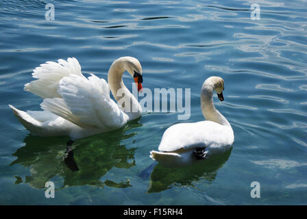 Two swans on a lake, one spreading its wings - Stock Photo