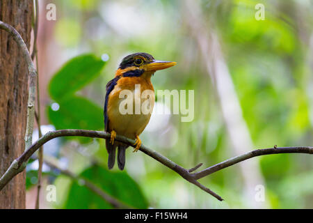 Rufous-collared Kingfisher (Actenoides concretus)-Male, standing on a branch, taken in Thailand - Stock Photo