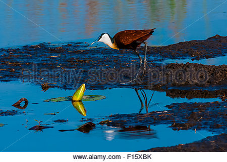 Birds amongst water lilies, Kwara Camp, Okavango Delta, Botswana. - Stock Photo
