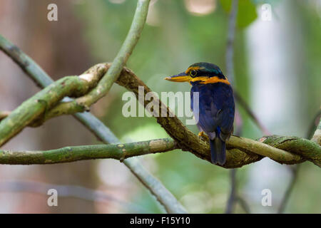 Rufous-collared Kingfisher-Male, standing on a branch, taken in Thailand - Stock Photo