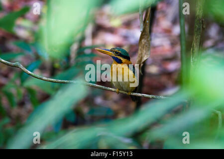 Raucous-collared Kingfisher (Actenoides concretus)-Female standing on a branch. - Stock Photo
