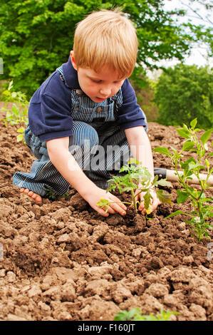 Boy planting tomatoes in garden