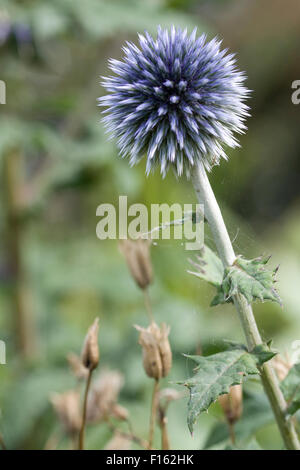 Echinops ritro veitchs (globe thistle) flower in an English garden - Stock Photo