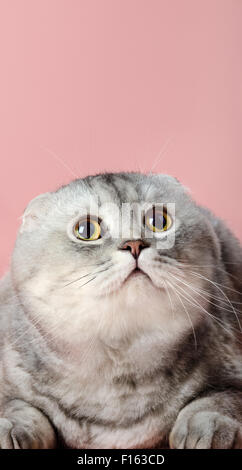 fluffy gray beautiful adult cat look up, breed scottish-fold,  close up  vertical portrait - Stock Photo