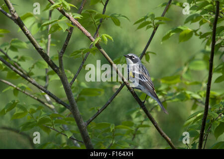 Yellow-rumped Warbler - male on migration Setophaga coronata Gulf Coast of Texas, USA BI027853 - Stock Photo
