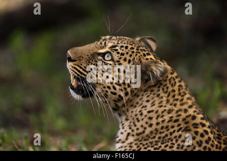 Leopard (Panthera pardus), Maasai Mara National Reserve, Narok County, Kenya - Stock Photo