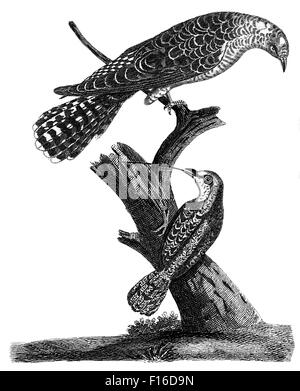 Engraved illustration titled 'Common CUCKOO Common WRYNECK' taken from 'British Zoology' by Thomas Pennant (1726 - Stock Photo
