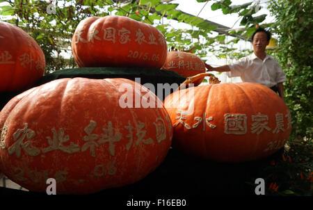 (150828) -- TIANSHUI, Aug. 28, 2015 (Xinhua) -- Photo taken on Aug. 27, 2015 shows ripe pumpkins growing from space - Stock Photo