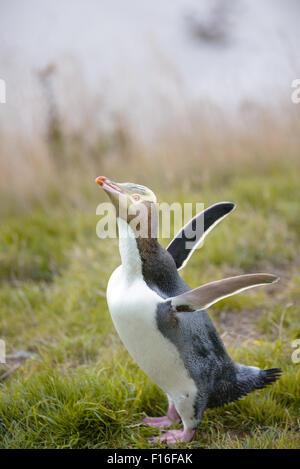 Yellow Eyed Penguin on Otago Peninsula - Stock Photo