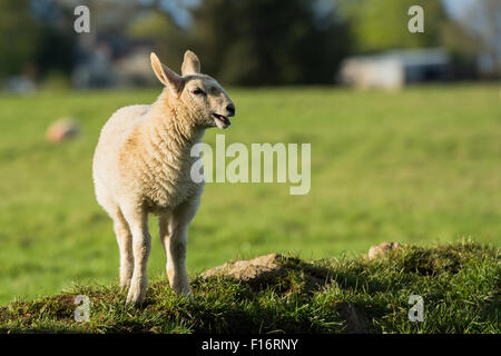 Lamb standing on grassy bank in sunlight on farm in Wicklow, Ireland - Stock Photo