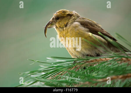 Common crossbill / red crossbill (Loxia curvirostra) female perched in pine tree - Stock Photo