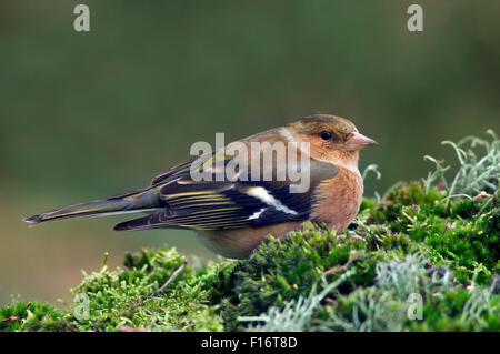Common chaffinch (Fringilla coelebs) female portrait - Stock Photo