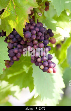 green vine indoor house plant html with Stock Photo Bunches Of Grapes Vitis Vinifera Growing On A Vine Against A White 115697423 on Stock Photo Creeping Fig Fig Vine Ficus Pumila Cv Sonny Potted Plant 9166231 further 1490917 32583144707 moreover Wandering Jew Plant additionally Feng Shui Plant For Harmony And Positive Energy In The Living Room in addition Artificial Ivy.