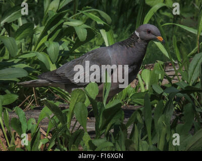 A Band-tailed Pigeon (Patagioenas fasciata) forages in a cleaing of the mixed conifer forest of the Sierra foothills - Stock Photo