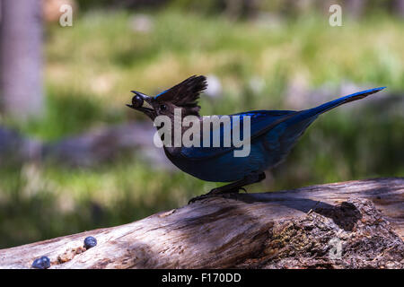 wild stellar Jay eating blue berries from the forest ground in Oregon - Stock Photo