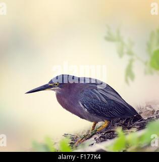 Green Heron in Florida Wetlands Stock Photo
