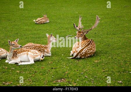 Fallow deer in small urban park, Maastricht, Limburg province, Netherlands, - Stock Photo