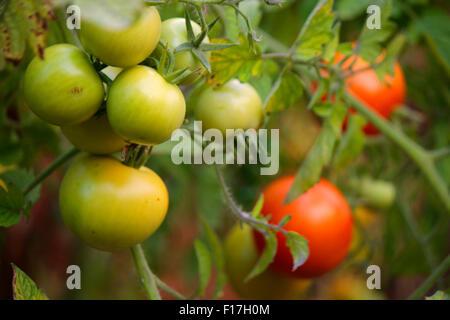 Tomaten, Garten, Berlin. - Stock Photo