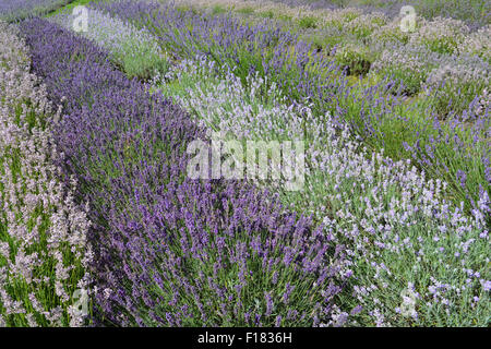 Yorkshire Lavender Farm. Rows of lavender (Lavandula angustifolia), including 'Rosea', 'Imperial Gem' and 'Blue - Stock Photo